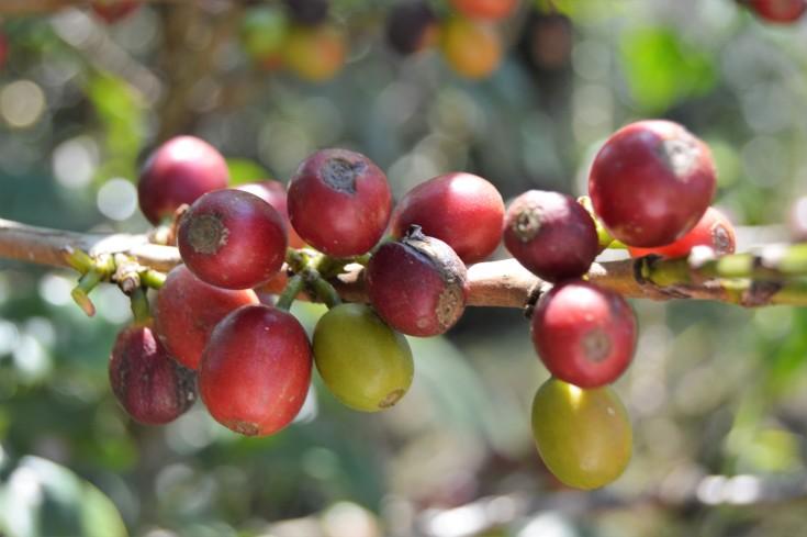 cereza de café en maduración