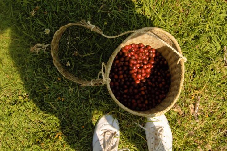 recolección cereza